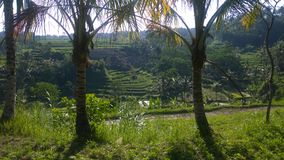 Padieveldpanorama in Bali Stock Foto's
