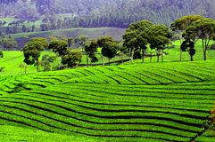 Padieveldterrassen in Indonesië Stock Foto