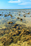 Padina australis Hauck or Padina pavonica brown algae in the sha Stock Photos