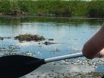 Padling near caimans in Esteros del Ibera Stock Images