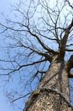 Padlock on tree. Brass padlock with steel chain on the tree Stock Photos