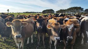 Padock of cows yearlings in New Zealand Royalty Free Stock Images