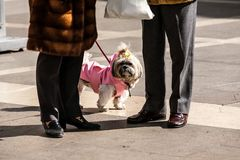 Padova, Italy - March 12, 2012: Funny white small dog dressed in pink clothes walking with its owners stock image
