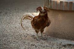 Padovana kurczak Obrazy Stock
