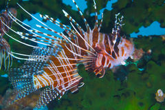Padre布尔戈斯,雷伊泰,菲律宾的优美的蓑鱼 免版税库存照片