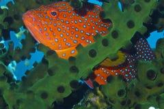 掩藏在黑珊瑚的罕见的彩虹石斑鱼Padre布尔戈斯,雷伊泰,菲律宾 图库摄影