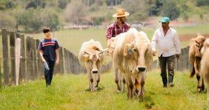 Padre de abuelo Child Pasturing Cows en rancho de la familia imagenes de archivo