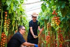 Padre e figlio che raccolgono i pomodori ciliegia nazionali in greenhou Fotografie Stock Libere da Diritti