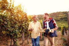 Padre e figlio sorridenti di tradizione della famiglia che raccolgono l'uva Immagine Stock