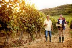 Padre feliz e hijo de la tradición de la familia que cosechan las uvas imagenes de archivo
