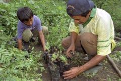 Padre guatemalteco e hijo que plantan nuevos árboles jóvenes Foto de archivo libre de regalías