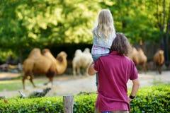 Padre joven y sus camellos de observación de la pequeña hija en el parque zoológico en día de verano caliente y soleado imagen de archivo libre de regalías