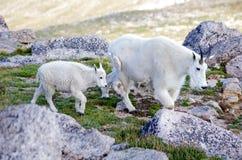 Padre y cabrito de la cabra de montaña Fotos de archivo libres de regalías
