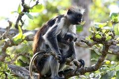Padre y cabrito del mono imágenes de archivo libres de regalías