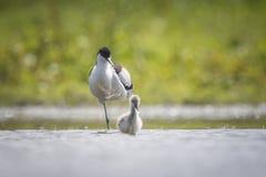 Padre y polluelo de varios colores del Avocet Foto de archivo libre de regalías