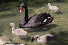 Padres del cisne negro y sus niños Foto de archivo