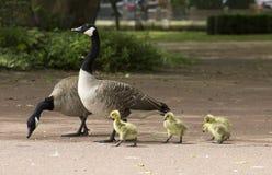 Padres del ganso con el bebé Fotografía de archivo