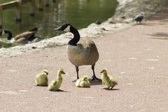 Padres del ganso con el bebé Imágenes de archivo libres de regalías