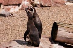 Padres del pingüino Fotografía de archivo