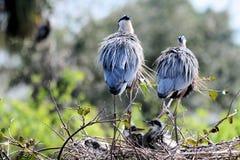 Padres y polluelos de la garza Imagen de archivo libre de regalías