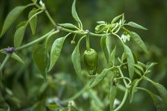 Padron peppar som hänger på växten Royaltyfria Foton