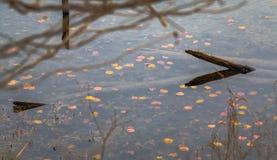 pads lilly vatten Arkivbilder