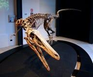 PADUA, ITALIË - JANUARI 6, 2017: een cabazai van de wederopbouwaustraloraptor van het dinosaurusskelet Royalty-vrije Stock Afbeeldingen