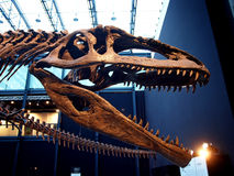 PADUA, ITALIË - JANUARI 6, 2017: een carolinii van de wederopbouwgiganotosaurus van het dinosaurusskelet Royalty-vrije Stock Afbeelding