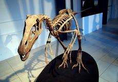 PADUA ITALIEN - JANUARI 6, 2017: en skelett- Frenguellisaurus för dinosaurie ischigualastensis Arkivfoto