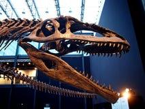 PADUA, ITALY - JANUARY 6, 2017: a dinosaur skeleton reconstruction Giganotosaurus carolinii Royalty Free Stock Image