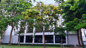 Paduak tree flower strong fragant. Summer flowers in Thailand decorate building park Royalty Free Stock Photo