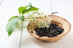 Padus сливы вишни птицы лекарственного растения Стоковые Фото