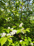 Padus avium. White flowering Bird cherry tree with lush green leaves Royalty Free Stock Images