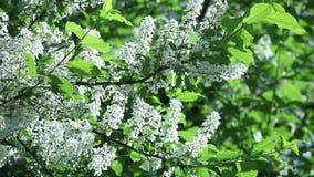 Padus do Prunus, flores de cerejeira do pássaro na mola com flores brancas video estoque