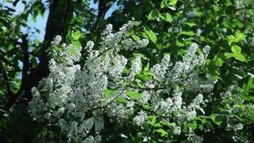 Padus do Prunus, flores de cerejeira do pássaro na mola com flores brancas filme