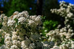 Padus Prunus φρακτών αλευριού κερασιών πουλιών Χιονώδες hackberry λουλουδιών ανθών Άσπρο πουλί-κεράσι θάμνων Στοκ Φωτογραφία