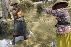 Pady womans. Womans proccessing rice on pady season in the place with wind energy Stock Photo
