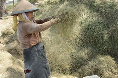 Pady womans. Womans proccessing rice on pady season in the place with wind energy Stock Image