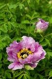 Paeonia Стоковые Изображения