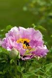 Paeonia Стоковое Изображение