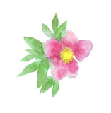 Paeonia anomala on white watercolor Royalty Free Stock Photo