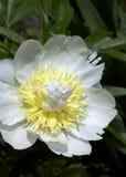 Paeonia - blandpion för övre mässing arkivfoton