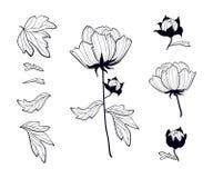 Paeonia Blommande pionuppsättning av svarta konturteckningar Pion` s p royaltyfri fotografi
