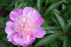 Paeonia Royalty Free Stock Images