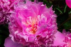 Paeonia cor-de-rosa Perrenial da peônia das pétalas Fotos de Stock Royalty Free