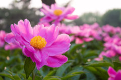 Paeonia flowers Stock Photo