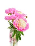 Paeonia lactiflora Bowl of Beauty Stock Images