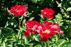 Paeonia lactiflora, gemeine Gartenpfingstrose Stockbilder