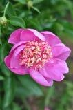 Paeonia lactiflora ` Neonowy ` Zdjęcia Royalty Free