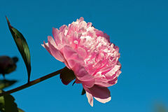 Paeonia lactiflora, pink peony flower and stem Royalty Free Stock Photos